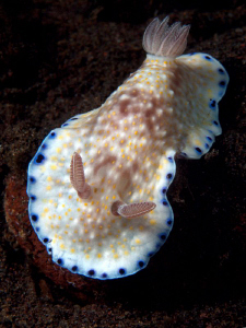   Chromodoris aureopurpurea Tulamben  
